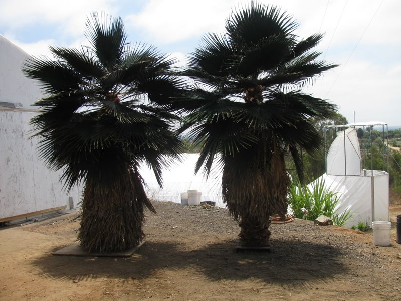 image of a Palm Tree