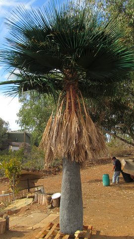 image of tall palm tree